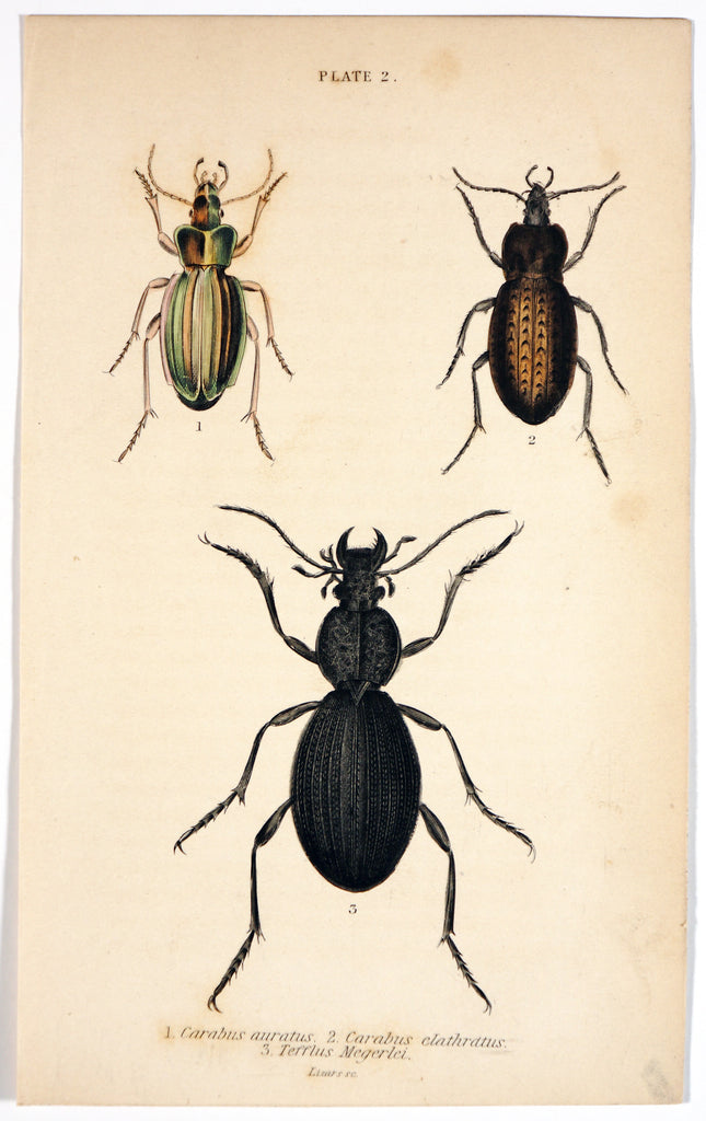 Golden Ground Beetle, Hand Colored Engraving (1835) - Original and Authentic Vintage Poster