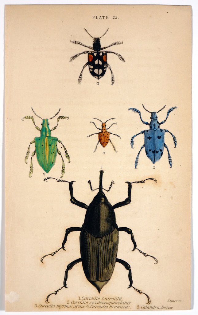 Nut Weevils Beetles, Hand Colored Engraving (1835) - Original and Authentic Vintage Poster
