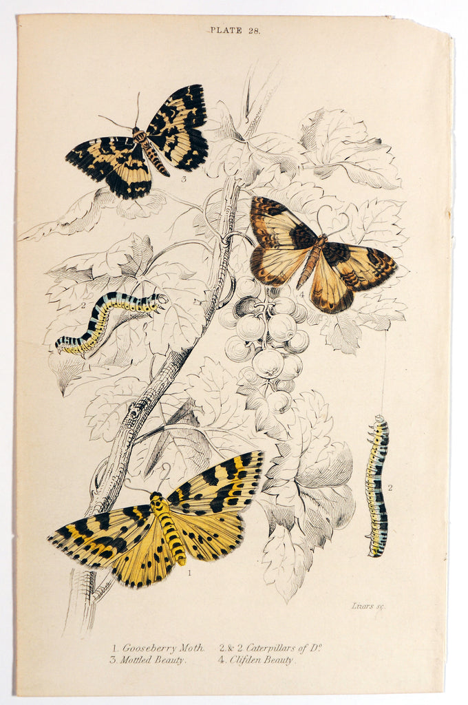 Jardine Exotic Moths Hand Colored Engraving (1840s) - Original and Authentic Vintage Poster