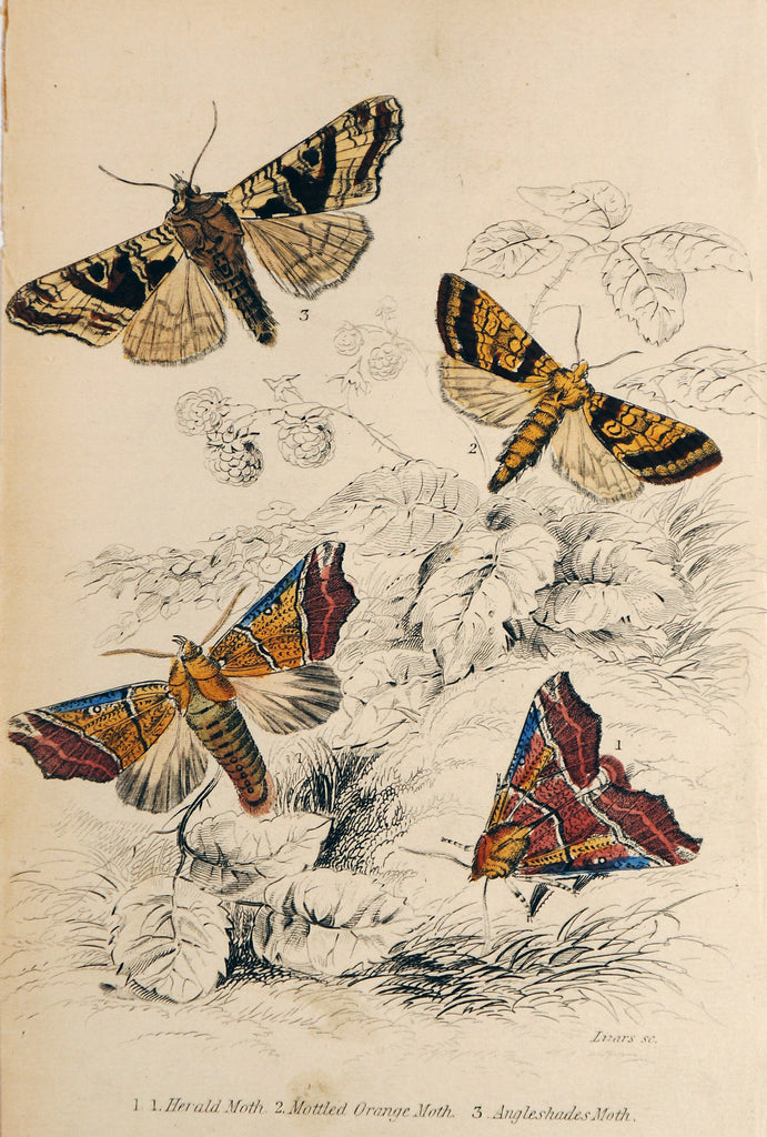 Jardine Exotic Moths Hand Colored Engraving (1840s) $50.00 - Original and Authentic Vintage Poster