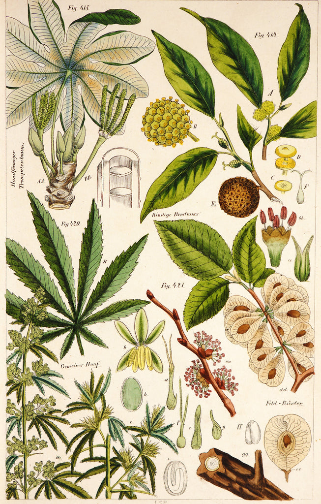 Petermann, Wilhelm 1845 HC Botanicals. Cannabis 1 - Original and Authentic Vintage Poster