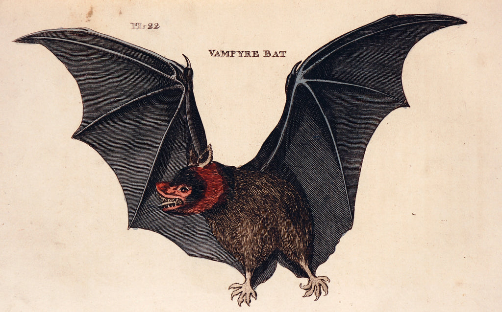 Vampire Bat, Hand Colored Engraving (1811) - Authentic Vintage Posters