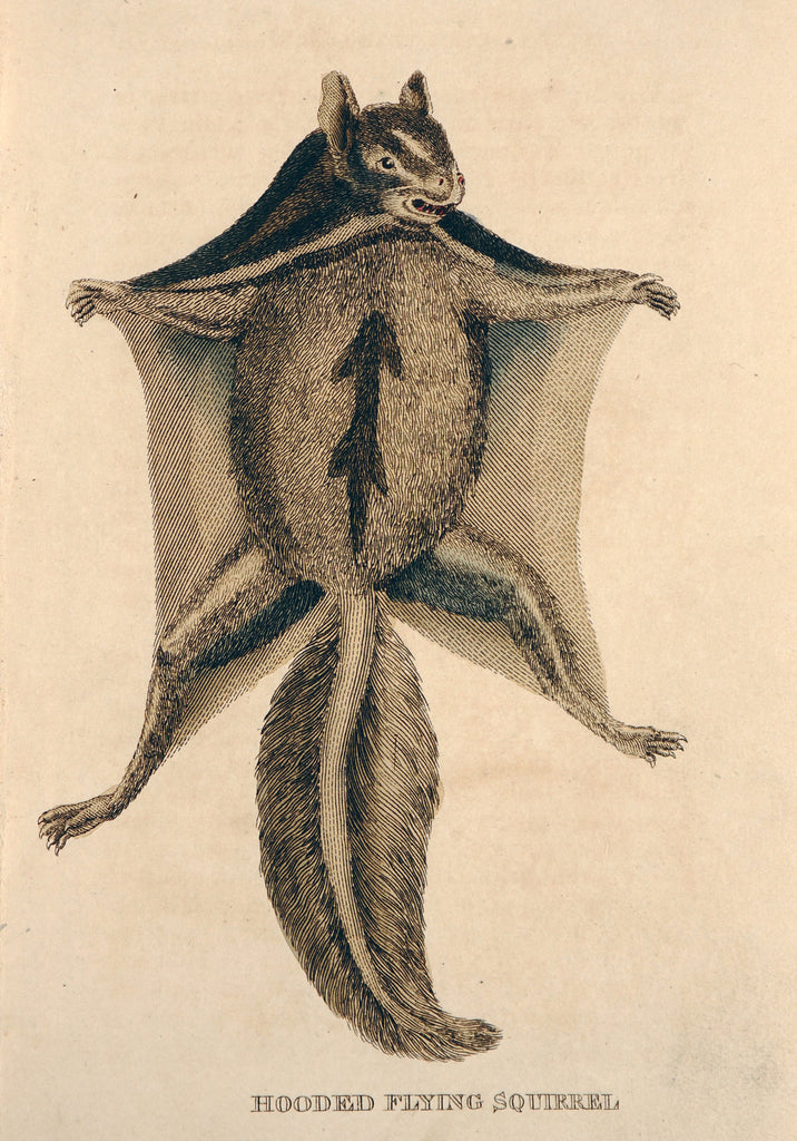 Hooded Flying Squirrel, Hand Colored Engraving (1811) - Original and Authentic Vintage Poster