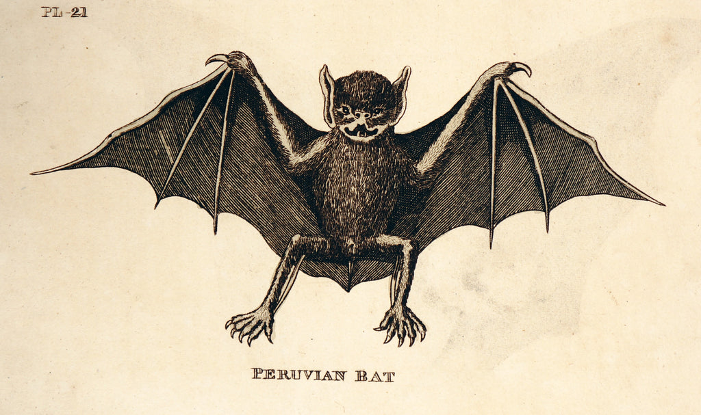 Peruvian Bat, Hand Colored Engraving (1811) - Original and Authentic Vintage Poster