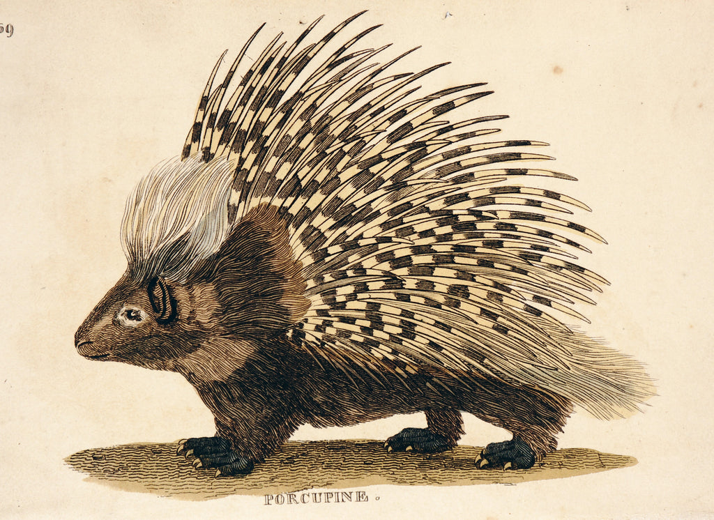 Porcupine, Hand Colored Engraving (1811) - Original and Authentic Vintage Poster