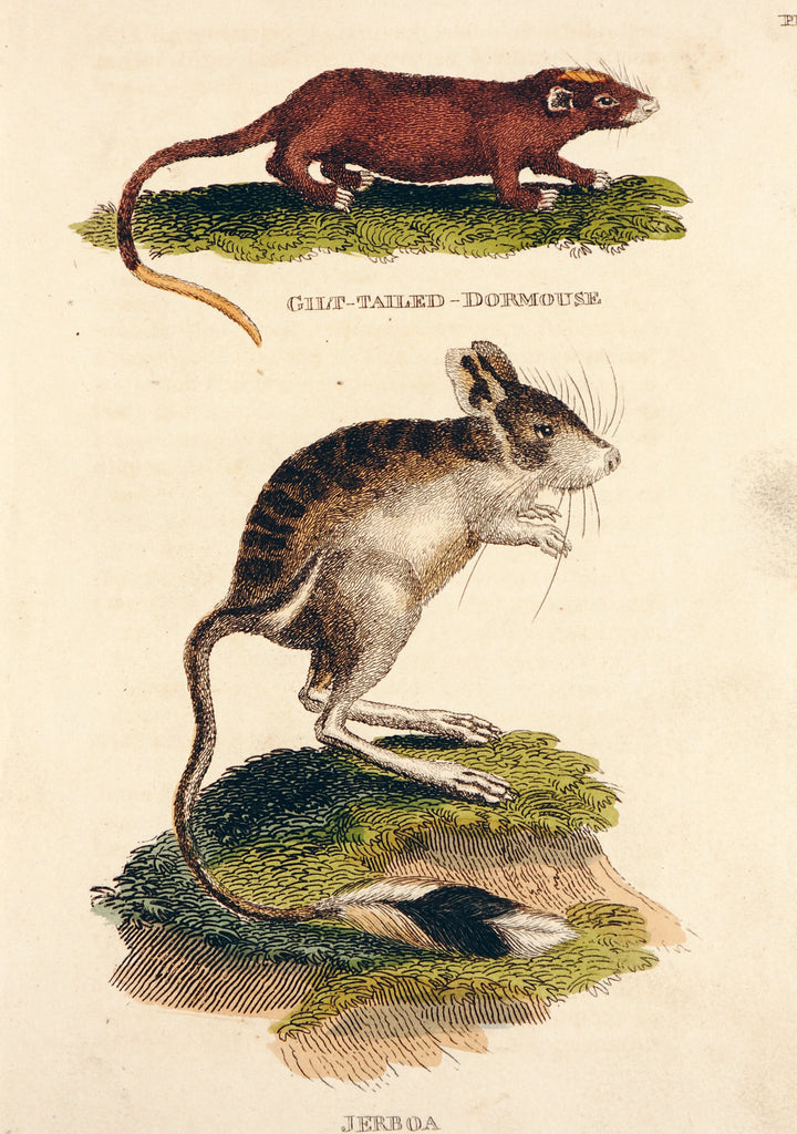 Dormouse, Rodents, Hand Colored Engraving (1811) - Original and Authentic Vintage Poster
