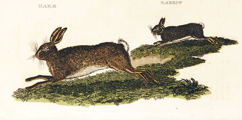 Rabbit & Hare, Hand Colored Engraving (1811) - Original and Authentic Vintage Poster