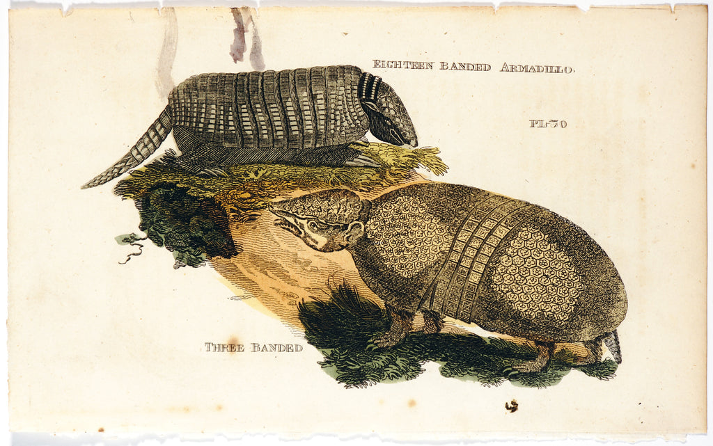 Armadillo, Hand Colored Engraving, (1811) - Original and Authentic Vintage Poster