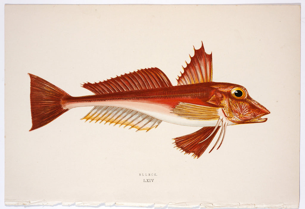 Elleck Fish Antique Print, Jonathan Couch (1877) - Original and Authentic Vintage Poster