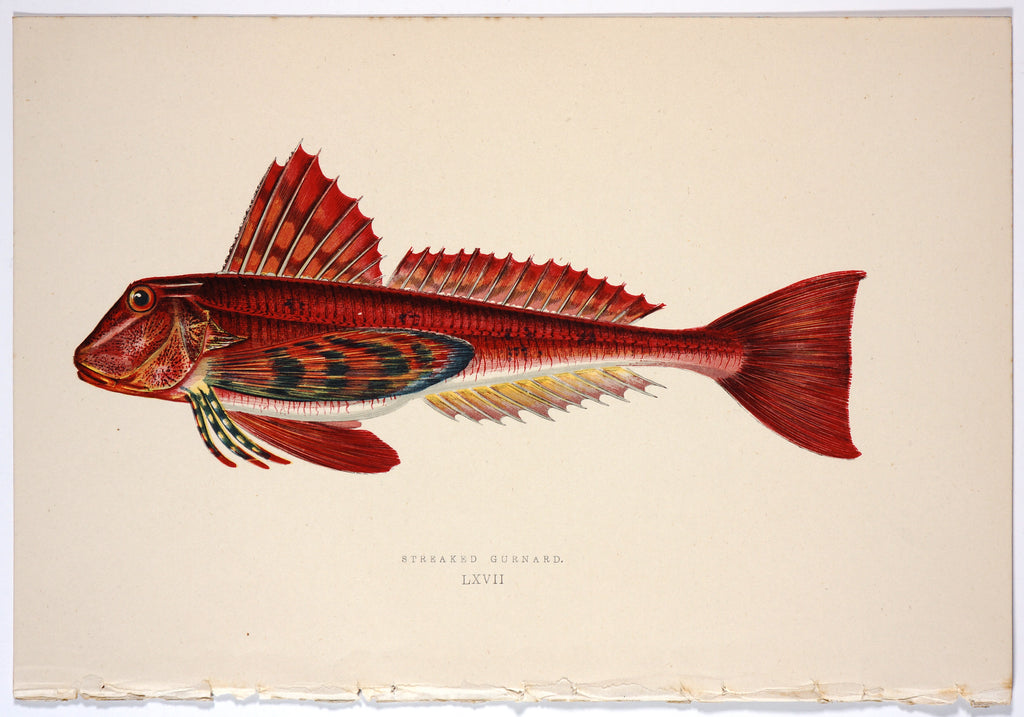 Streaked Gurnard Fish, Antique Print (1877) - Original and Authentic Vintage Poster