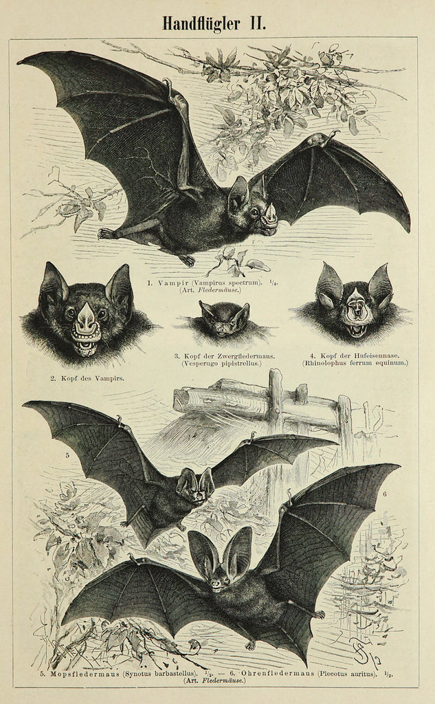 Bats Antique Engraving(1895) - Original and Authentic Vintage Poster