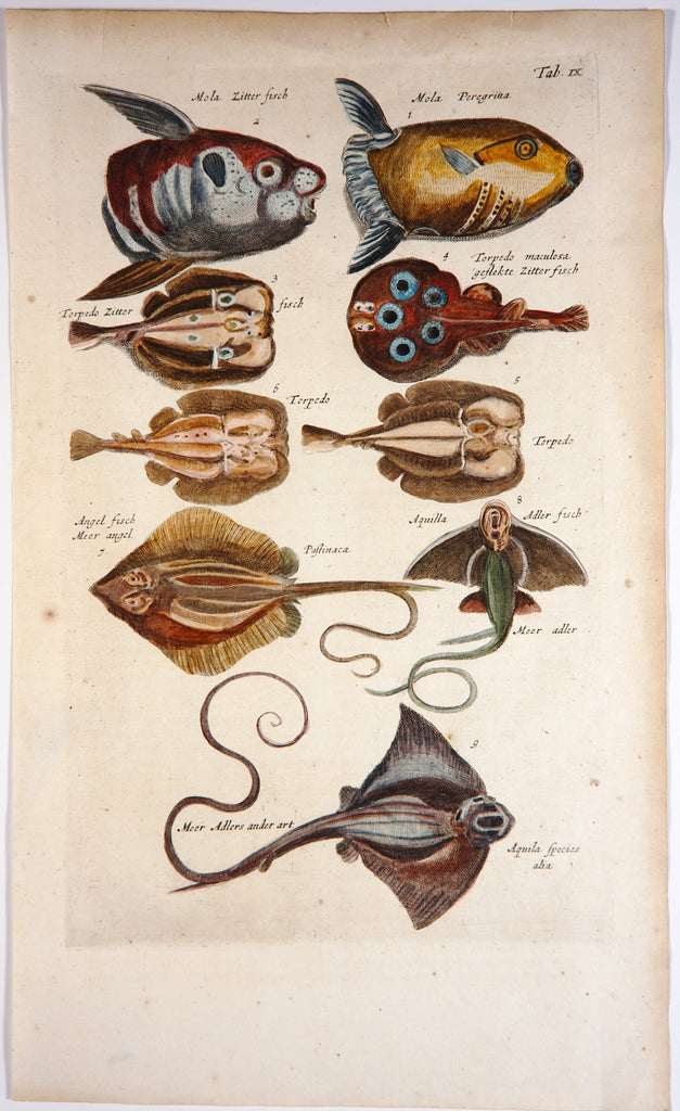 Triggerfish Rays, Hand Colored Engraving (1657) - Original and Authentic Vintage Poster
