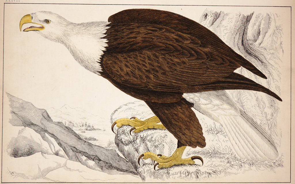 Bald Eagle, Hand Colored Engraving (c1850) - Original and Authentic Vintage Poster