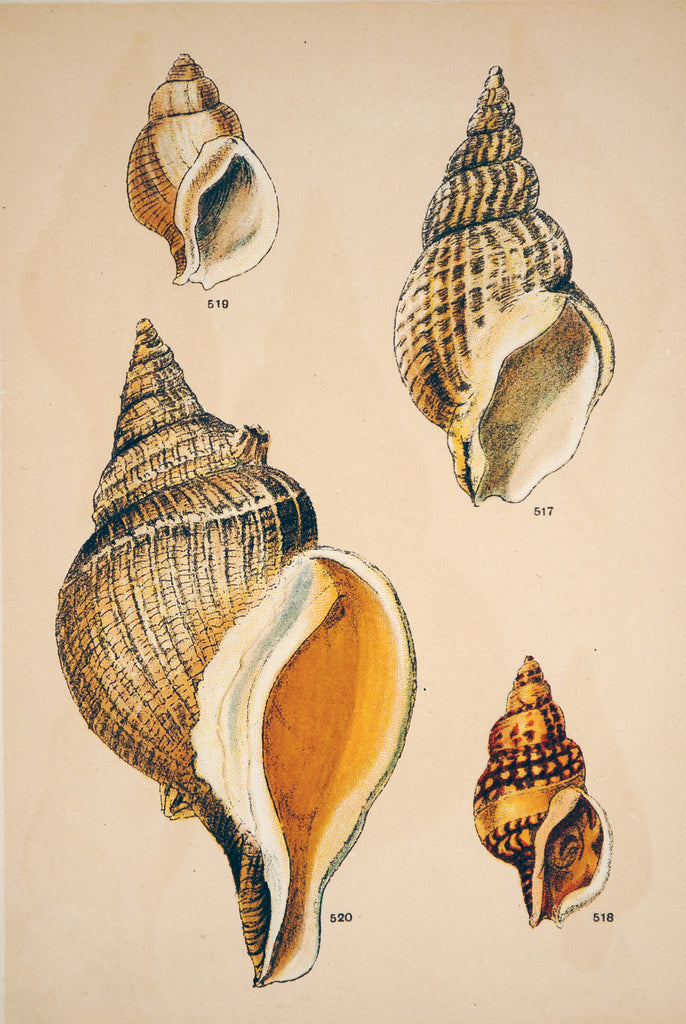 Shells, Antique Chromolithograph (c1900) - Original and Authentic Vintage Poster