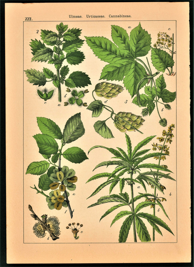 Cannabis, Marijuana- Antique Print (1895)