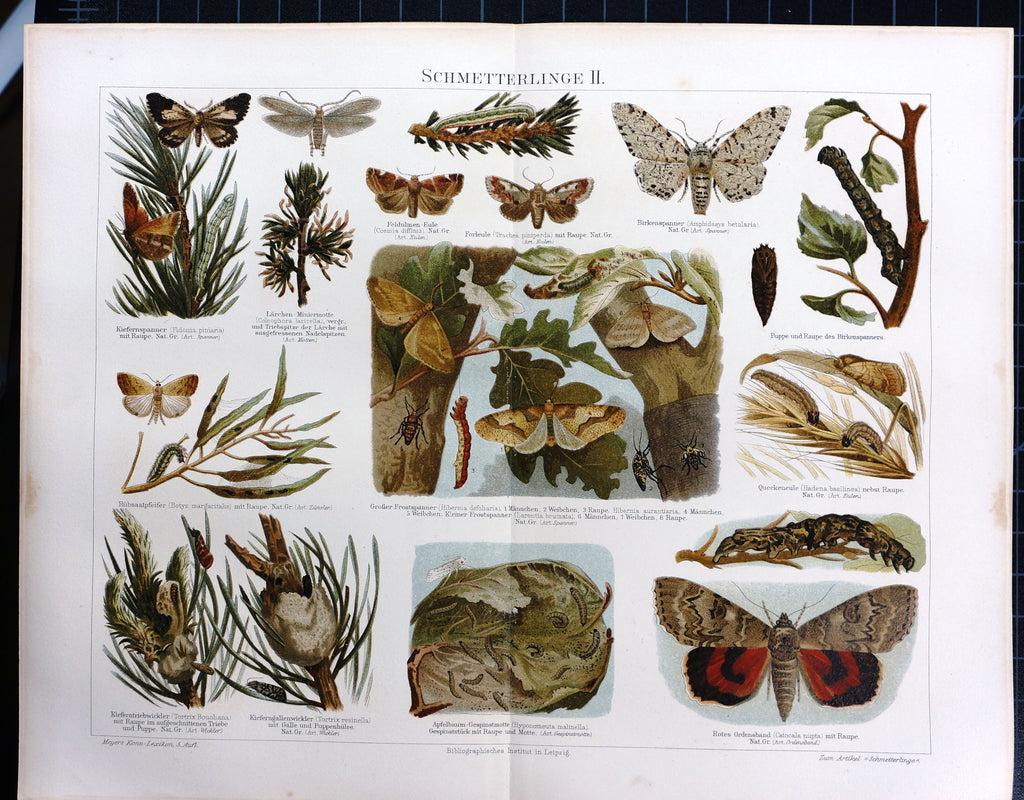 Butterfly Moth Silkworm Pupa (1895) - Original and Authentic Vintage Poster