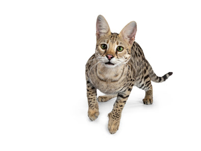 You will surely love to have the Savannah Cats as your  pet