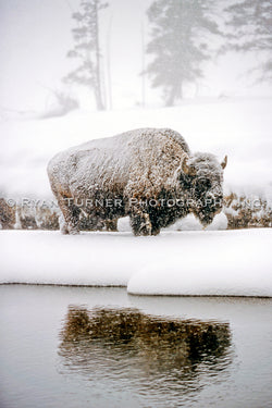Frozen Bison