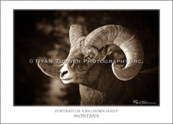 Portrait of a Big Horn Sheep - Notecard