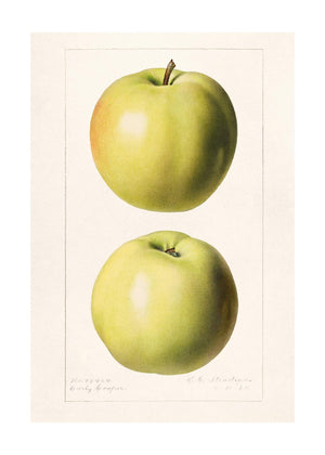 Two Apples Vintage Canvas Print