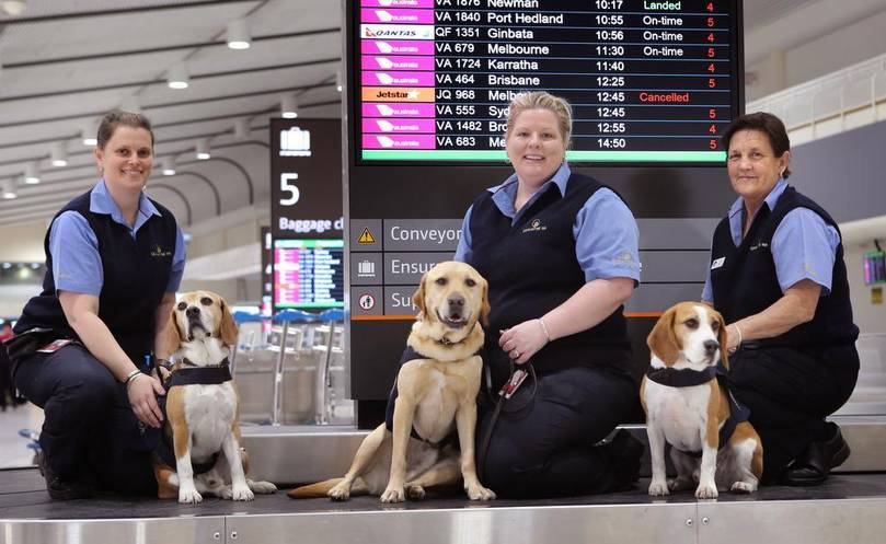 Why floppy eared dogs tend to be preferred as airport sniffer dogs