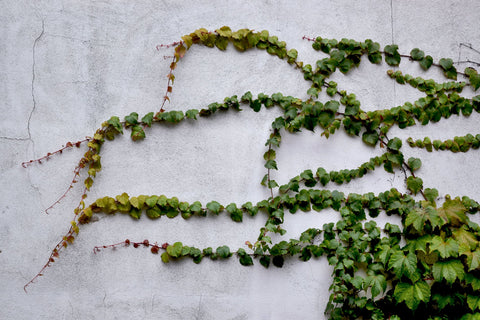 A concrete wall covered in English ivy leaves, for Ivy Leaf Skincare