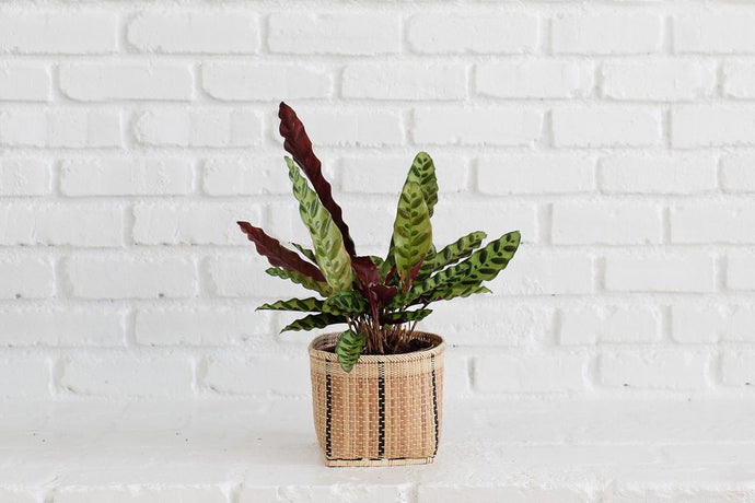 Live Rattlesnake Plant and Handwoven Basket Live Rattlesnake Plant and Handwoven Basket