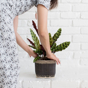Live Rattlesnake Plant and Handwoven Basket