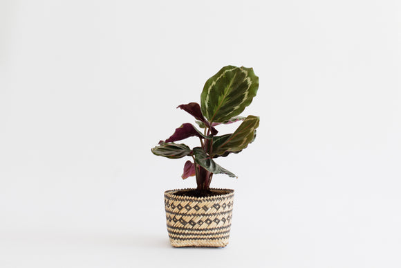 Prayer Plant and Handwoven Basket