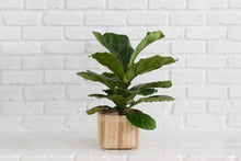 Load image into Gallery viewer, Live Fiddle Leaf Fig Tree in Handwoven Basket Planter