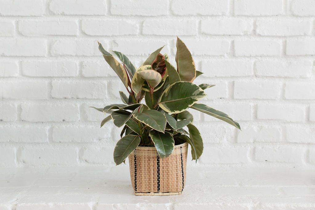 Tineke Rubber Plant and Handmade Basket