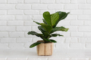 Live Fiddle Leaf Fig Tree in Handwoven Basket Planter