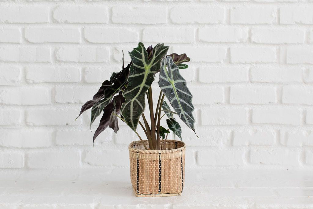 Alocasia Poly Plant and Handwoven Basket