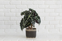 Load image into Gallery viewer, Alocasia Poly Plant and Handwoven Basket