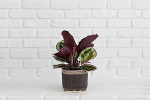 Live Prayer Plant and Handwoven Basket