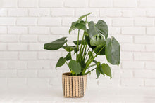 Load image into Gallery viewer, Monstera Split Leaf Plant and Handwoven Basket