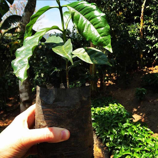 Plant a Tree in Guatemala