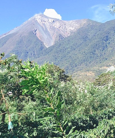 Volcano Fuego Guatemala with Coffee Trees
