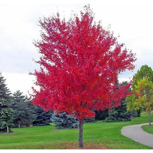 Japanese Red Maple Tree Seeds Japan Maple New Seeds 40 Seeds Pack