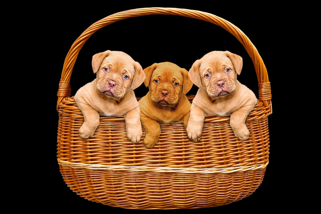 Basket of Puppies