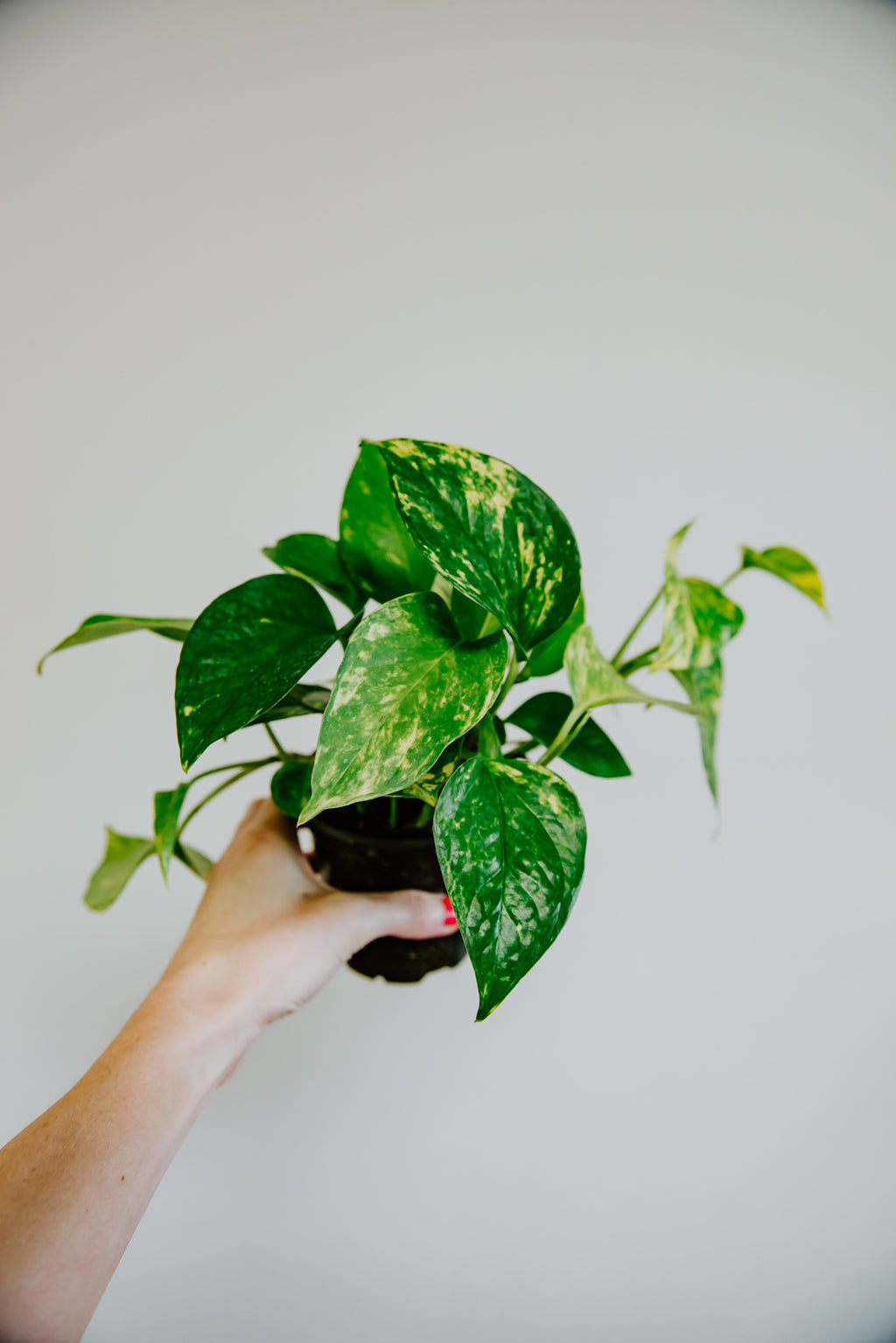"4"" Pothos Golden"