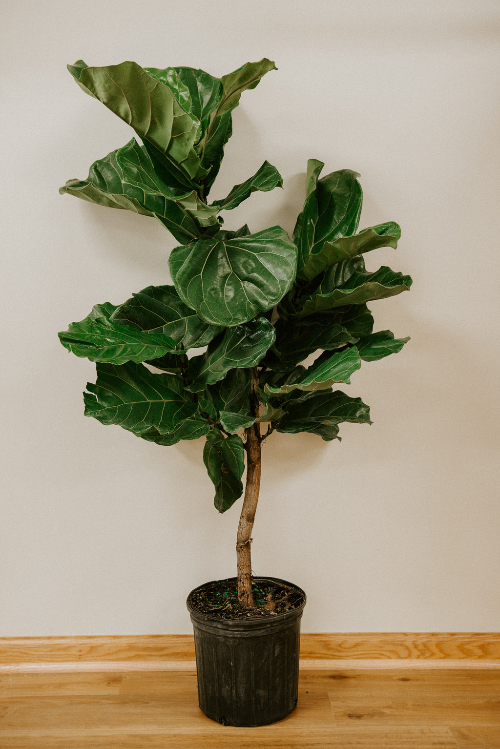"10"" Fiddle Fig Tree (Ficus Lyrata Standard)"