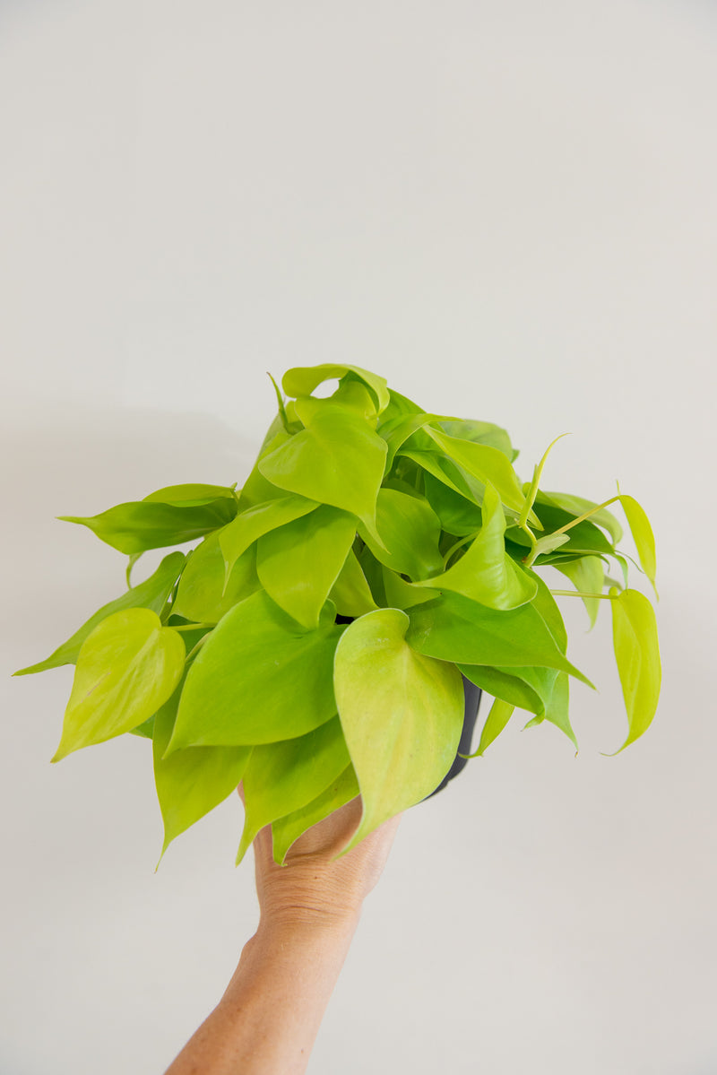 "6"" Philodendron Lemon Lime"