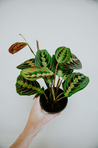 "4"" Neanthe Palm Bella"