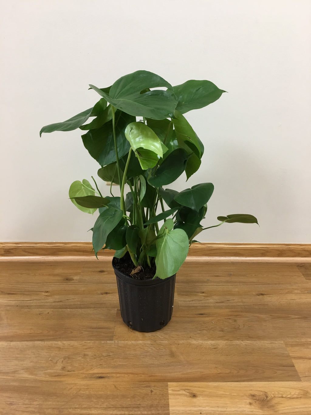 "10"" Philodendron Split Leaf"