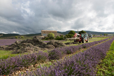 Lavender harvest in France