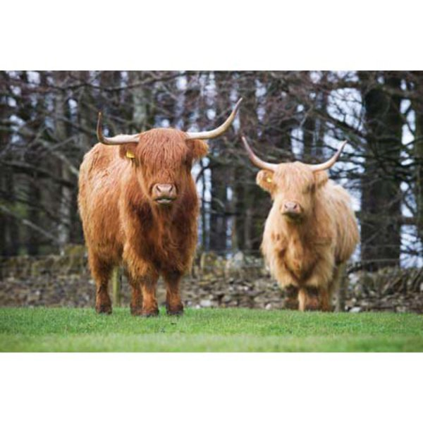 CSP Greetings - Highland Cattle 1 Greeting Card