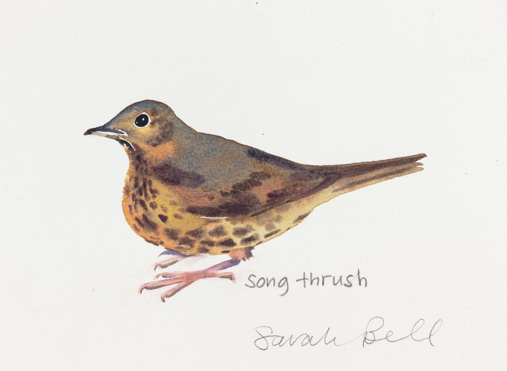"""Song Thrush"" British Bird collection- original- watercolour technique-by Sarah Bell"