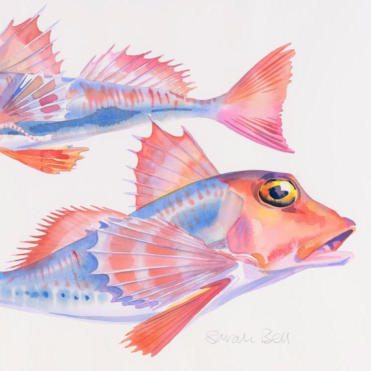 'Red Gurnard' Original Watercolour Painting