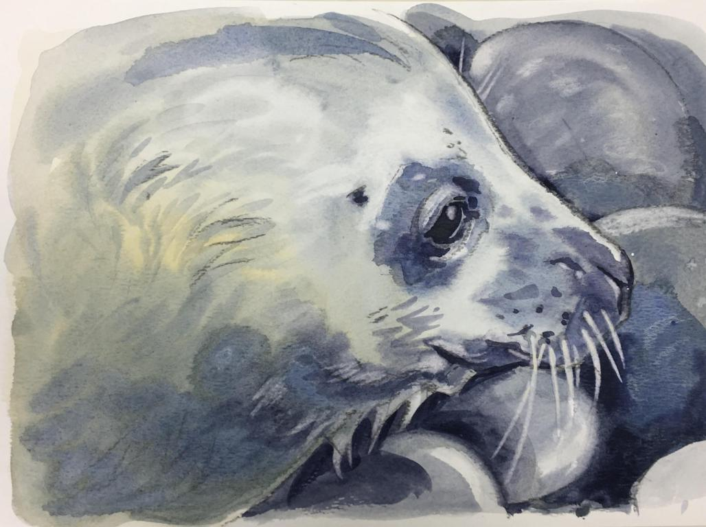 """Wing's Pup"" Grey Seal Original Watercolour by Sarah Bell. Photo ID by The Cornwall Seal group Research Trust."